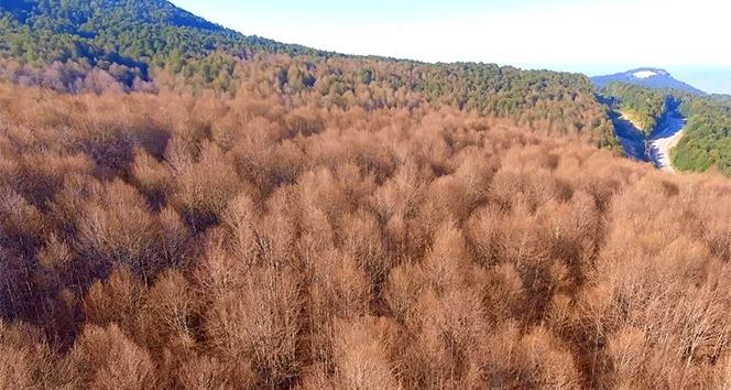 Ormanları saran tırtıllar İnegöl ekonomisini tehdit ediyor