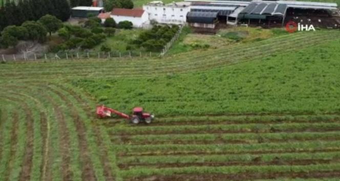 Erkenci yem bezelyesi 'Arda' çiftçinin yüzünü güldürüyor