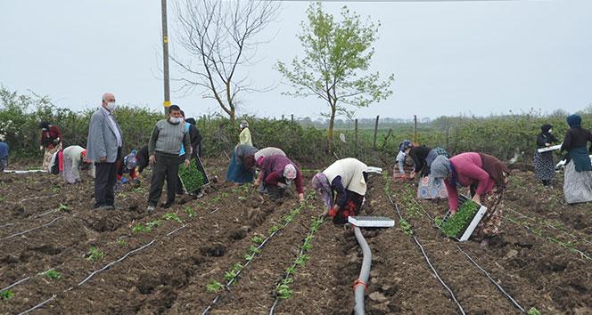 Tarım işçileri korona virüs gölgesinde mesai yapıyor