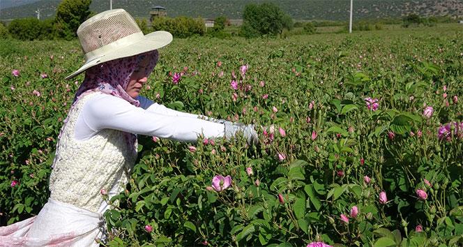 Türkiye'nin gül bahçesinde turizmsiz hasat başladı