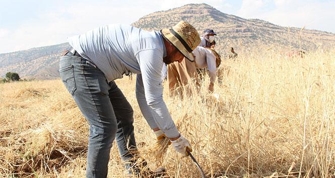 40 derece sıcaklıkta buğday hasadı