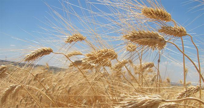 Buğday rekoltesi üreticinin yüzünü güldürüyor