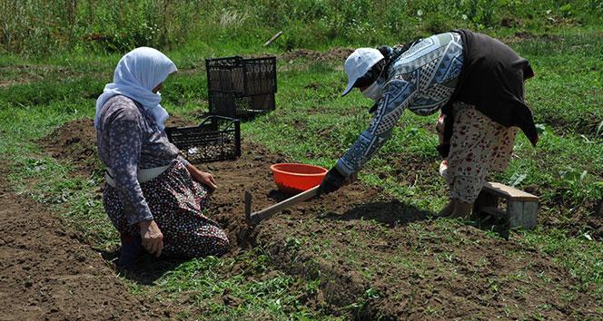 Çiftçiye yeni gelir kapısı: Salep