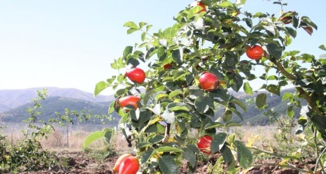 Bakanlık hibesiyle dikilen kuşburnular ilk meyvelerini verdi