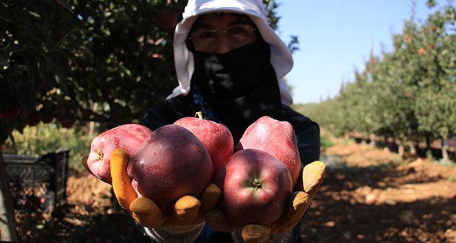 Elazığ'da kırmızı elma hasadı başladı
