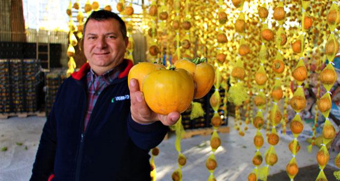 'Sarı altın' cennet hurmasının kilosu dalında 3 lira