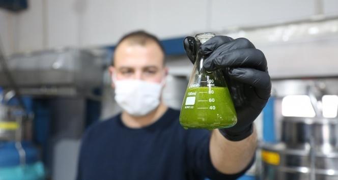 'Yeşil altın' olarak biliniyor, litresi 250 liradan satılıyor
