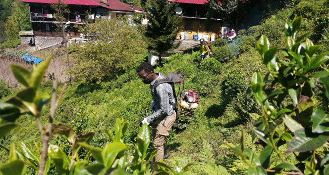 Gambiyalı çay işçileri iş başında