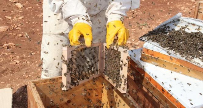 Gramı 500 TL olan arı zehri Adıyaman'da üretilmeye başlandı