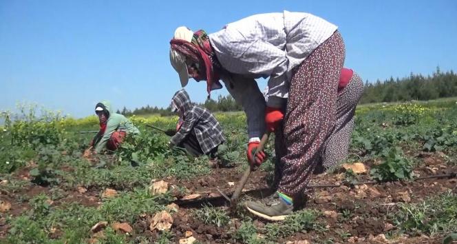 Mevsimlik tarım işçilerinin Ramazan'da zorlu mesaisi