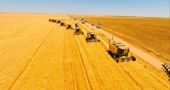 Dünyanın en büyük çiftliğinde buğday hasadı başladı