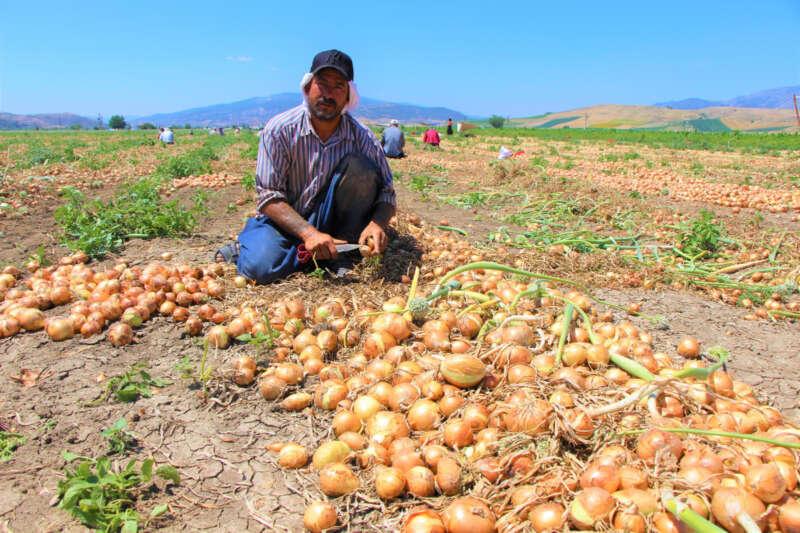 Tarlada soğanın fiyatı sudan ucuz