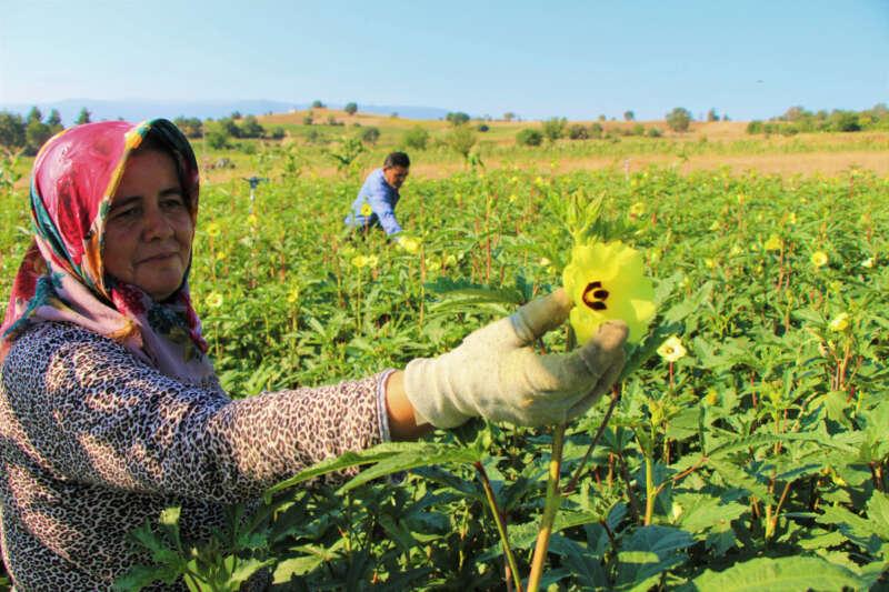 Amasya'da tescilli 'çiçek bamyası'nın hasadı başladı: Kilosu 200 lira