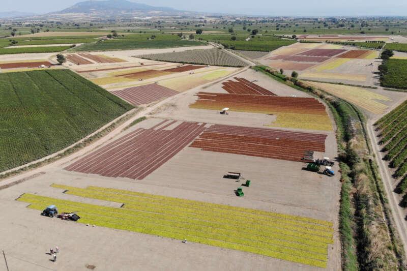 Manisa Ovasına serilen binlerce ton üzüm renk cümbüşü oluşturdu