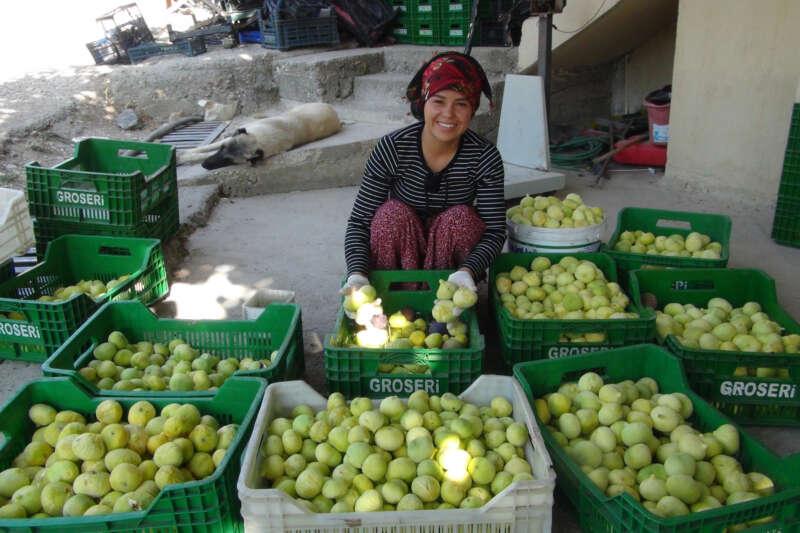 Silifke'de yaş incir 10 lira, kuru incir ise 50 liradan satılıyor
