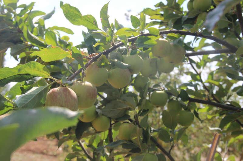Merak üzerine dereden getirdiği elma fidanıyla şimdi 5 ton hasat yapıyor