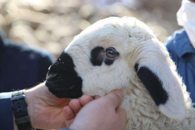 50 bin koyun desteği verildi, hedef 1 milyon