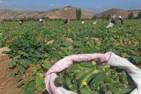 İzmir'de salatalık üreticileri dertli